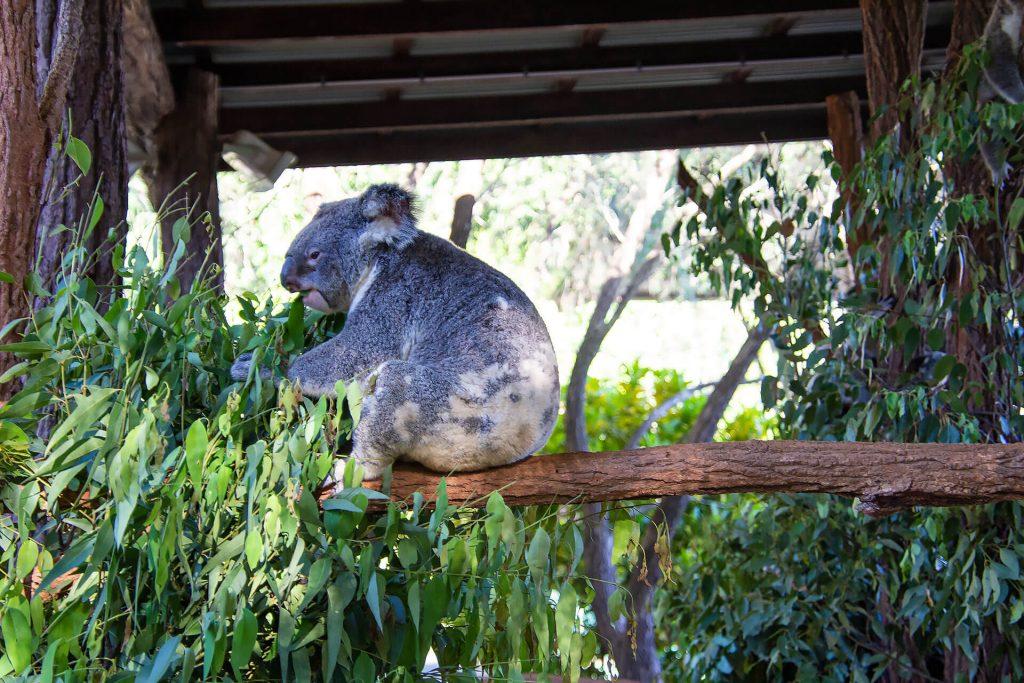 Koala am Essen
