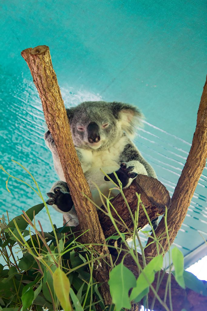 Koala im Baum