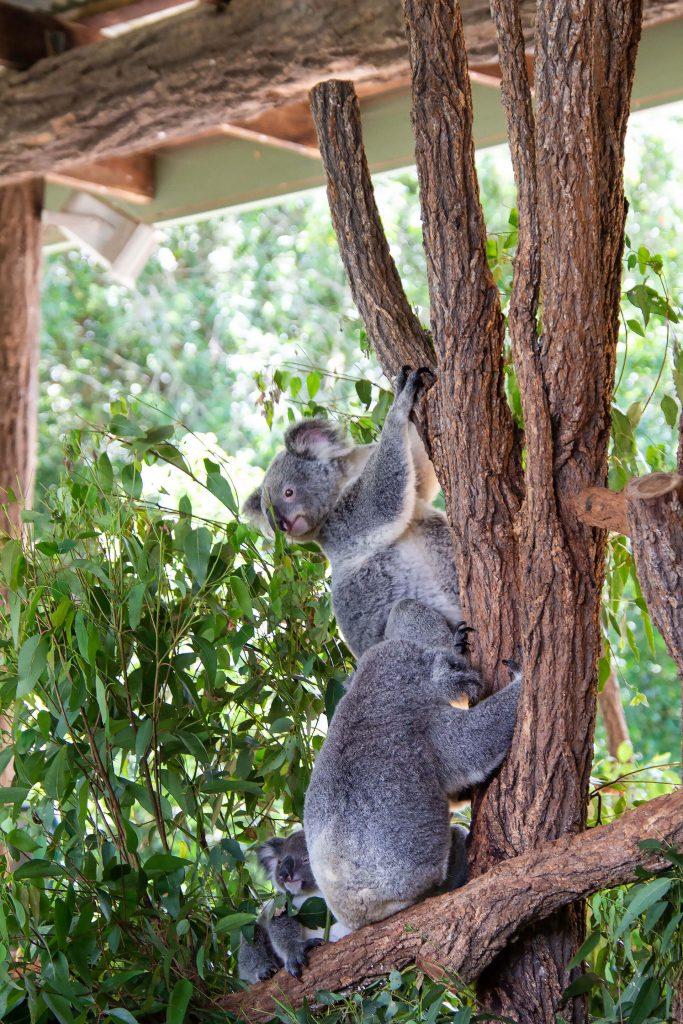 Viele Koalas im Baum