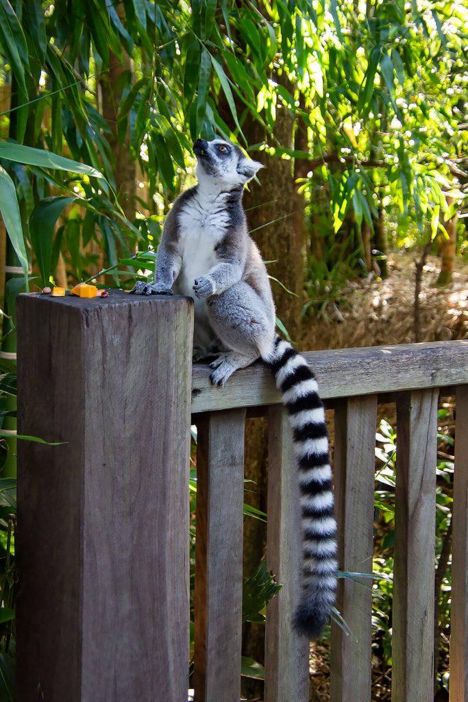 Lemure auf Geländer
