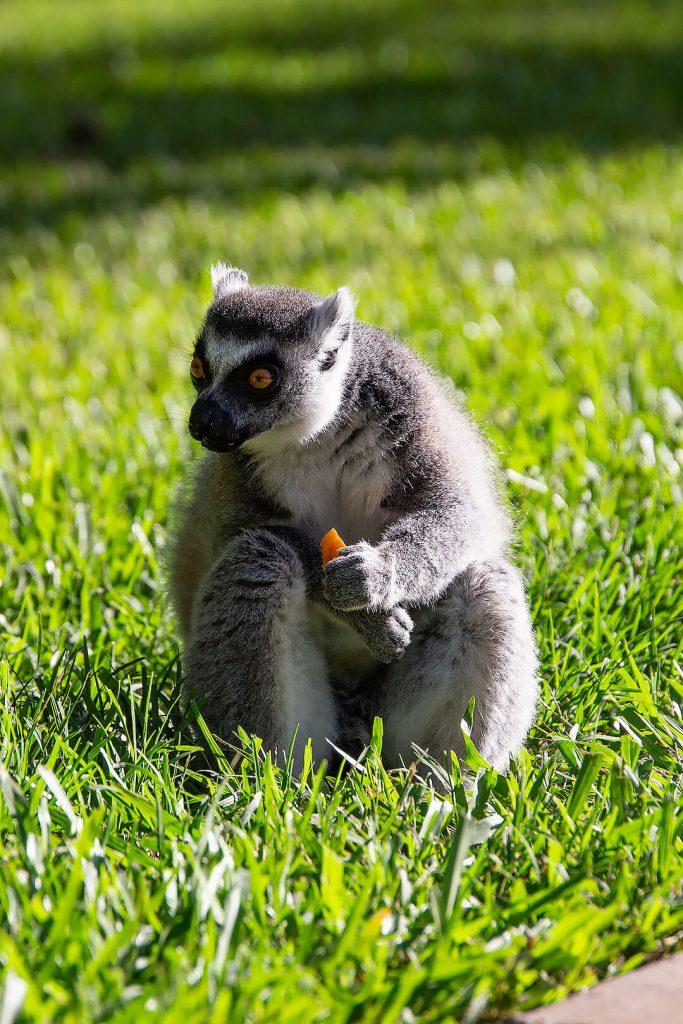 Lemure am Essen