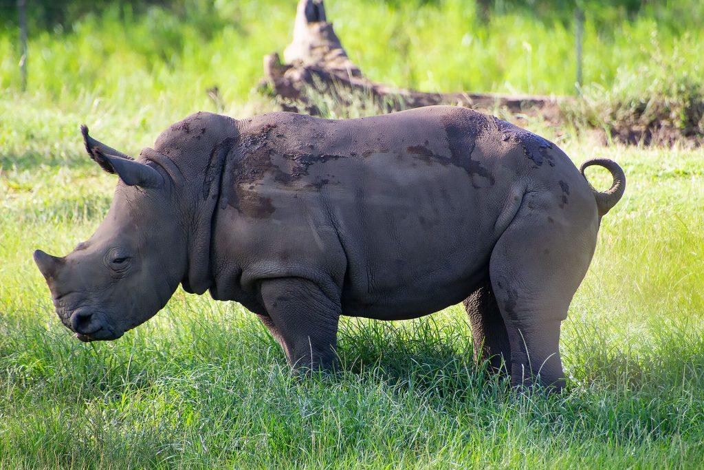 Nashorn auf Wiese
