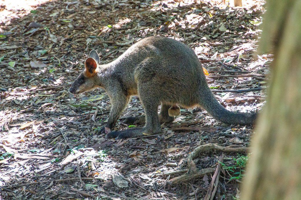 Wallaby mit dicken Klöten