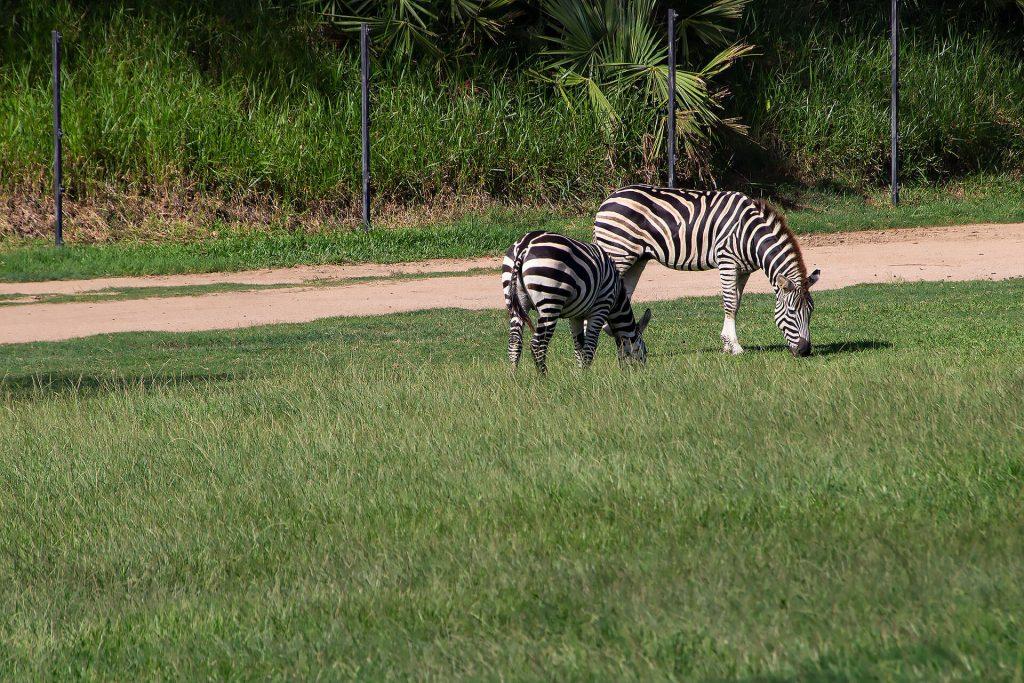 Zebras auf der Wiese