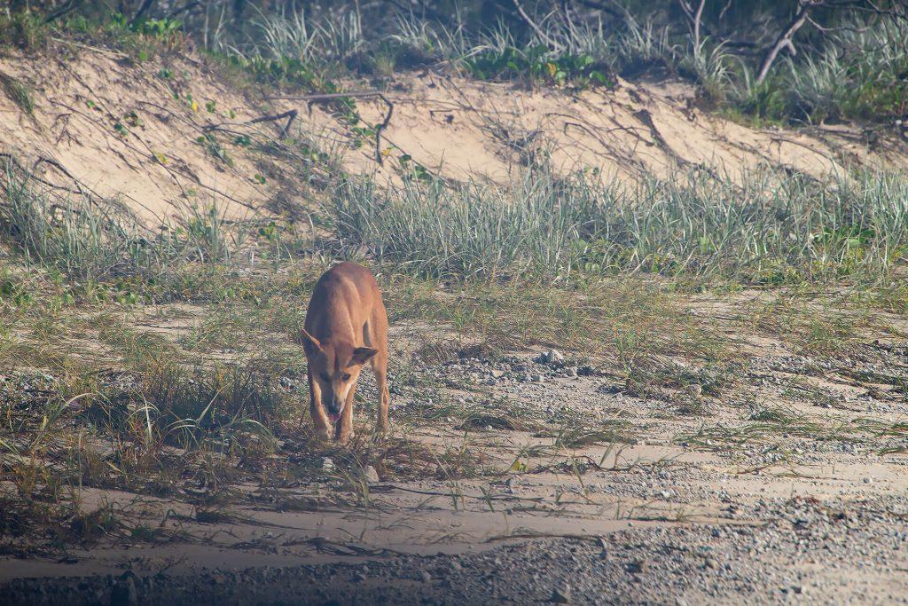 Dingo am Strand von Fraser Island