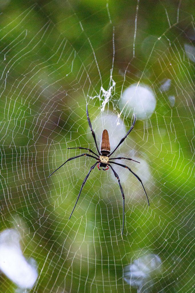 Spinne auf Fraser Island