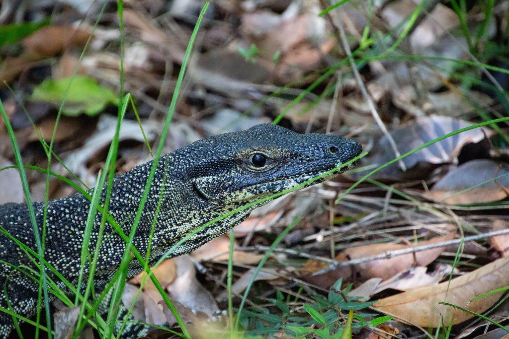 Waran auf Fraser Island