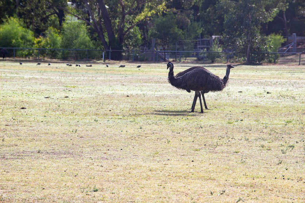 Emus in den Grampians