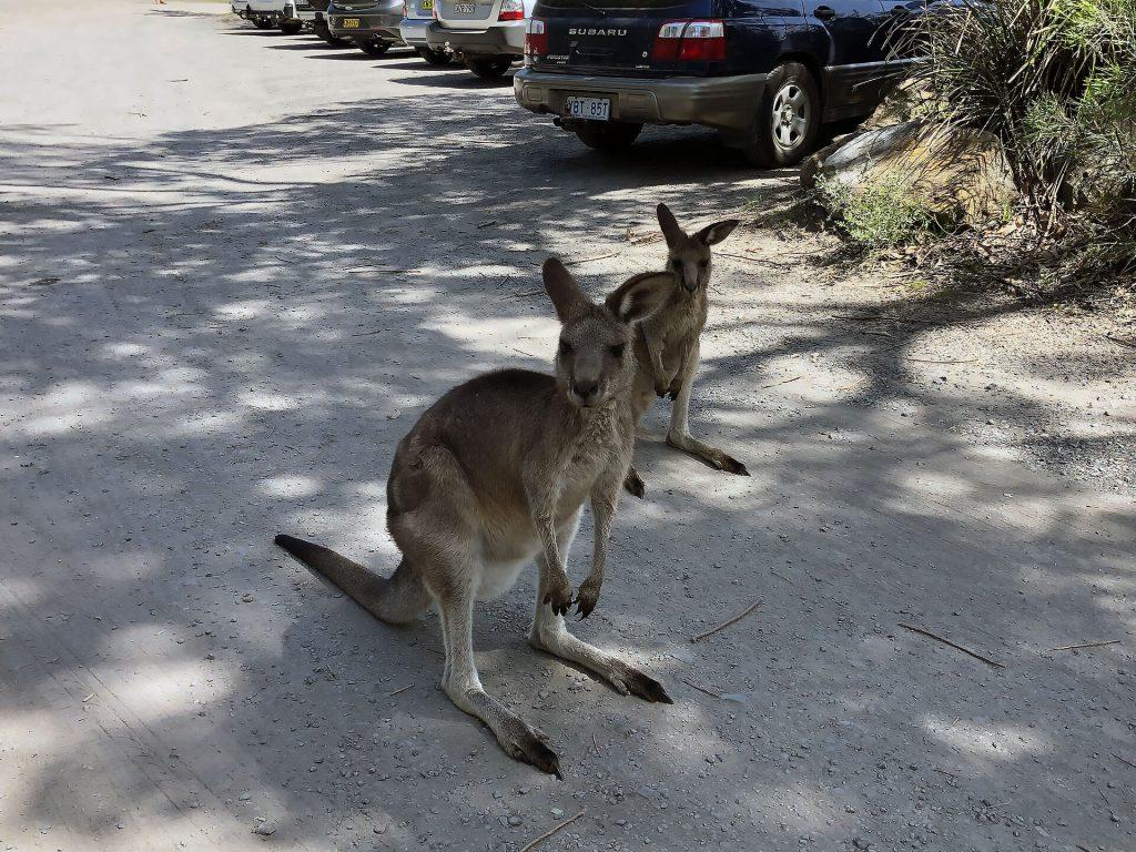 Kängurus am Parkplatz von Cave Beach