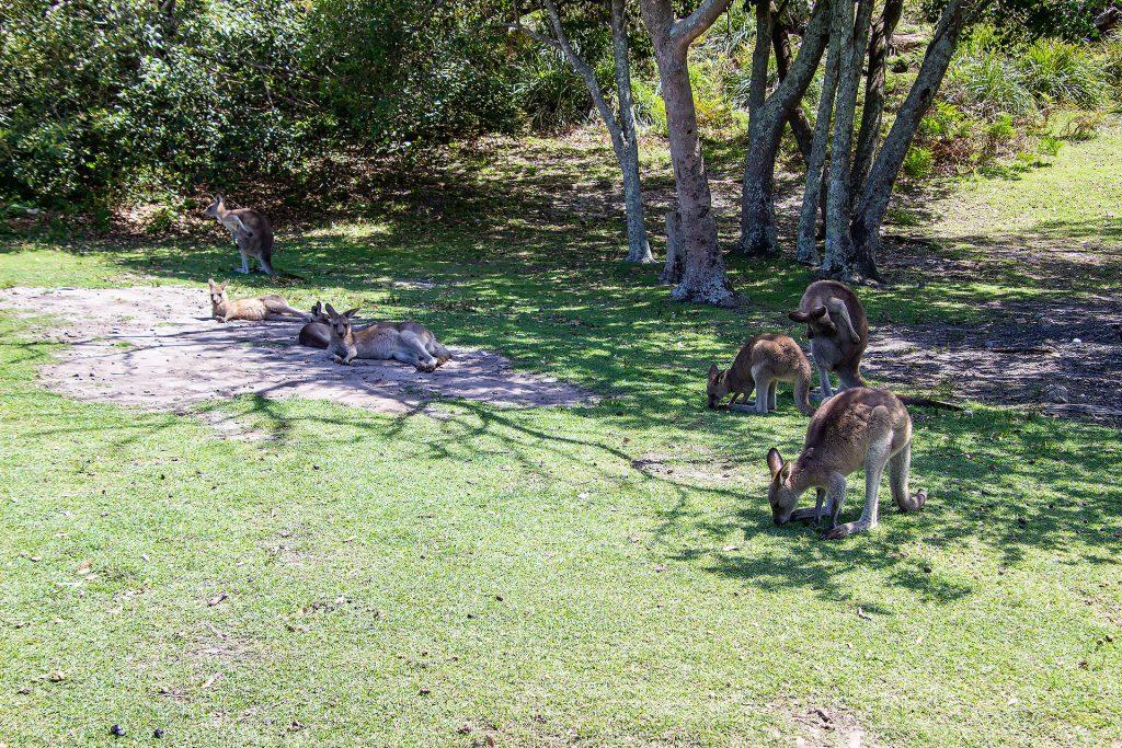 Kängurus am Cave Beach