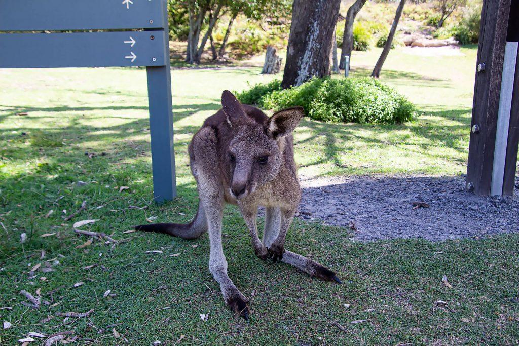 Känguru am Cave Beach