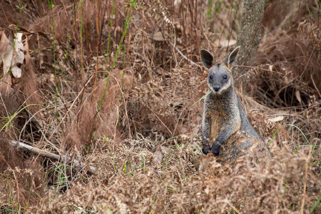 Wallaby an der Jervis Bay