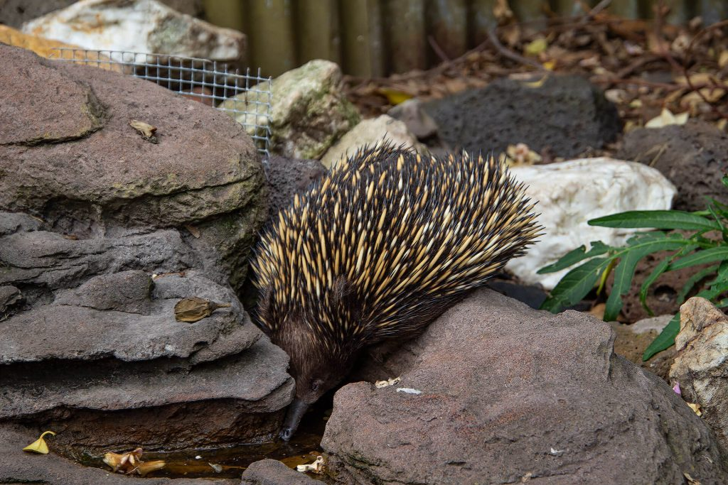 Echidna in der Jirrahlinga Sanctuary