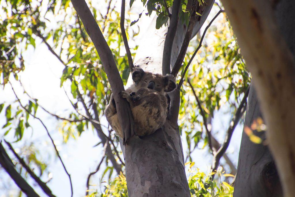 Koala Hospital in Port Macquarie an der Ostküste