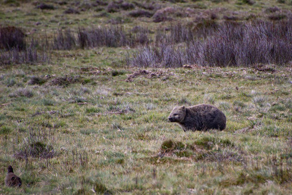 Wombat im Cradle Mountain Nationalpark